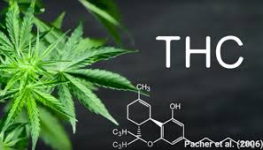 What is the risk of high THC?